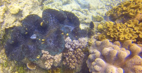 Boring clam (tridacna crocea)