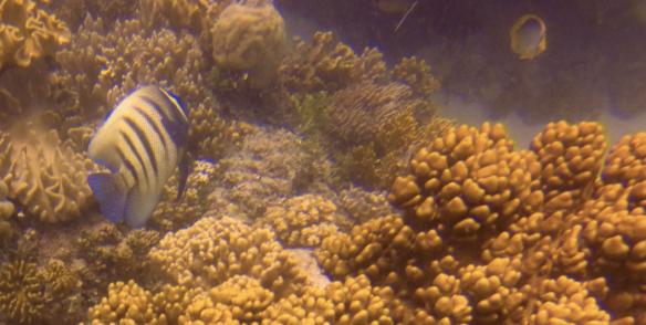 Longfin batfish (platax teira) 60cm
