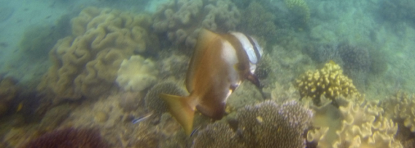 Masqued bannerfish (heniochus monoceros) 23cm